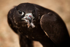 Portrait of hawk bird Stock Images