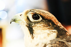 Portrait of hawk on blur background Stock Photography