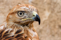 Portrait of Hawk Royalty Free Stock Photography