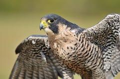 Portrait of hawk eagle stock images