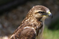 Portrait of hawk or falcon. Side portrait of hawk or falcon bird with nature background Stock Photography