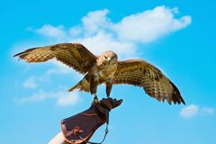 Portrait hawk on falconer gloves Royalty Free Stock Photos