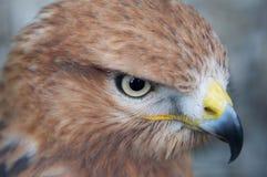 Portrait of a hawk. Hawk looking for a pray portrait close-up Stock Photos