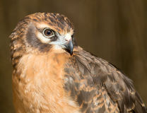Portrait hawk on nature Royalty Free Stock Photo
