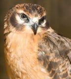 Portrait hawk on nature Stock Photography