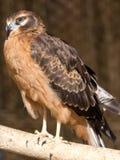 Portrait hawk on nature Stock Image