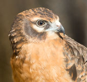 Portrait hawk on nature Royalty Free Stock Photography