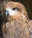 Portrait hawk on nature Royalty Free Stock Photos