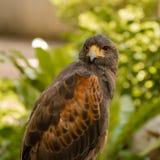 Portrait of hawk Royalty Free Stock Photo