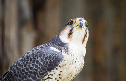 Portrait of a hawk at the zoo Stock Images