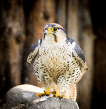 Portrait of a hawk at the zoo Stock Image