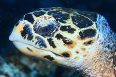 Portrait of Hawksbill sea turtle Stock Photos