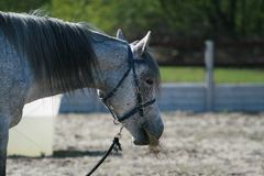 Portrait of the head of an Arab horse gray in buckwheat at endurance competitions. stock photography