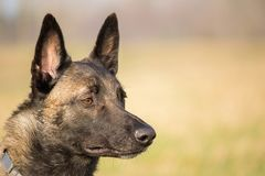 Portrait of the head of the Belgian Malinois adult shepherd and a blurred background. A portrait of the head of the Belgian Malinois adult shepherd and a blurred Royalty Free Stock Photo
