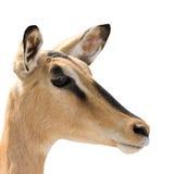 Portrait of Head of Blackfaced Impala isolated on white royalty free stock photos