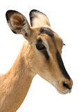 Portrait of Head of Blackfaced Impala isolated on white stock images
