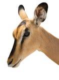 Portrait of Head of Blackfaced Impala isolated on white royalty free stock photo
