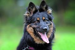 Portrait of head of a Bohemian Shepherd on a green background. He has an open mouth and a pink tongue royalty free stock photos