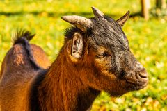 Portrait of a head of a brown pygmy goat stock photo