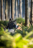 Portrait of the Head of Dog - Black and White Border Collie - Sitting in the Small Coniferous Trees. Royalty Free Stock Images
