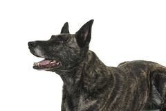 Portrait of the head of a Dutch Shepherd dog, brindle coloring, isolated on white background