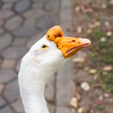 Portrait head of goose Royalty Free Stock Photography
