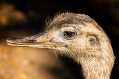 Portrait of a head grey ostrich Nandu royalty free stock image