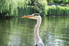 Portrait of the head of a heron at a lake Royalty Free Stock Photo