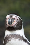 Portrait of the head of a Humbolt penguin Royalty Free Stock Image