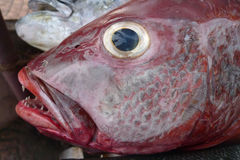 Portrait head of a large deep-water tropical fish with maroon and gray gleam on the scales, yellow eyes and dark blue pupil. Mouth Stock Photo