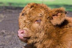 Portrait head newborn brown scottish highlander calf stock image