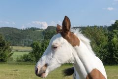 Portrait of the head of the newborn white brown spots foal Stock Photo