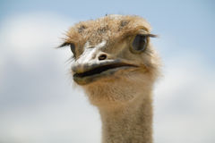 Portrait of the head of an Ostrich Stock Photos