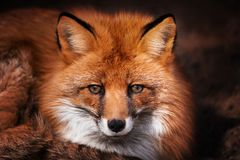 Red Fox looks at the camera. Portrait. stock photo