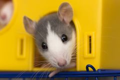 Portrait head of white and gray tame mouse hamster with shiny eyes looking from bright yellow cage on light copy space background. Keeping pets at home, care royalty free stock images