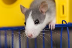 Portrait head of white and gray tame mouse hamster with shiny eyes looking from bright yellow cage on light copy space background. Keeping pets at home, care stock image