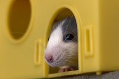 Portrait head of white and gray tame mouse hamster with shiny eyes looking from bright yellow cage on light copy space background. Keeping pets at home, care stock photo
