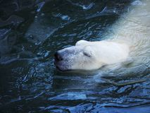 Portrait of a head of a white polar bear. royalty free stock image