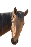 Portrait of the head of a wild horse isolated on white backgroun Royalty Free Stock Image