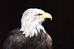 Wonderful majestic portrait of an american bald eagle with a black background. Portrait of the head of a wonderful majestic portrait of an american bald eagle royalty free stock images