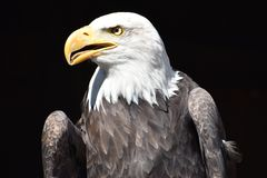 Wonderful majestic portrait of an american bald eagle with a black background. Portrait of the head of a wonderful majestic portrait of an american bald eagle royalty free stock photos