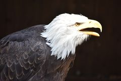Wonderful majestic portrait of an american bald eagle with a black background. Portrait of the head of a wonderful majestic portrait of an american bald eagle stock photos