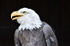 Wonderful majestic portrait of an american bald eagle with a black background. Portrait of the head of a wonderful majestic portrait of an american bald eagle royalty free stock photo