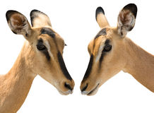 Portrait of Heads of Two Blackfaced Impala isolated on white royalty free stock photo