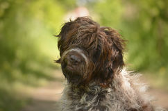 Portrait ( headshot) of a wired hair pointing griffon Stock Photo