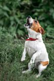 Portrait of heatedly barking small white and red dog jack russel terrier standing on its hind paws and looking up outside on green royalty free stock image