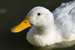 Portrait of heavy white Pekin Duck royalty free stock image