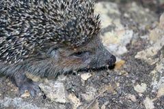 Portrait of a hedgehog Stock Photography