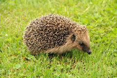 Portrait of Hedgehog in forest Royalty Free Stock Image