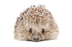 Portrait of a hedgehog Stock Images
